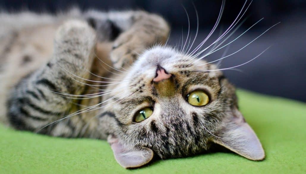 Gatti che hanno 9 vite, mito dei gatti che hanno 9 vite